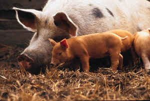 Picture of Pigs for PigNamed Homepage